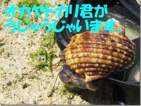 IMG_0010オカヤドカリ