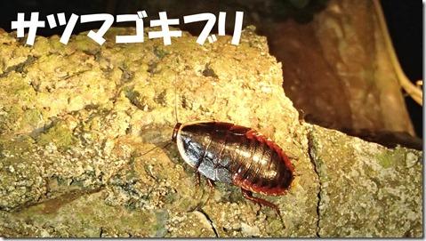 20140725006サツマゴキブリ