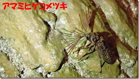 20140725010アマミヒゲコメツキ