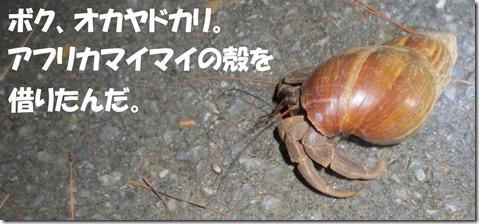IMG_1382オカヤドカリ