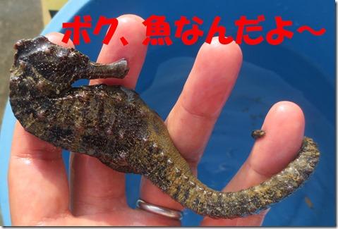 タツノオトシゴ 沖縄
