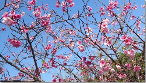 IMG_0406桜